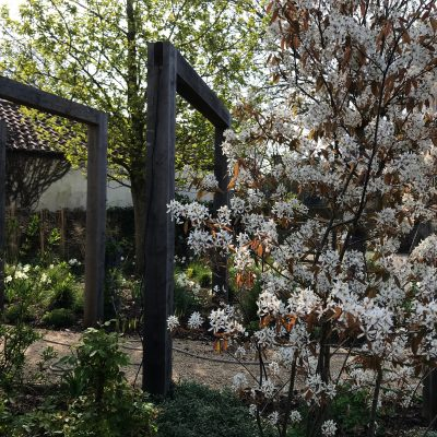 Alicia Savage Gardens - Amelanchier