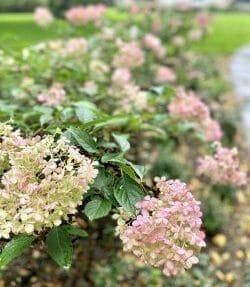 Historic Garden Hydrangea